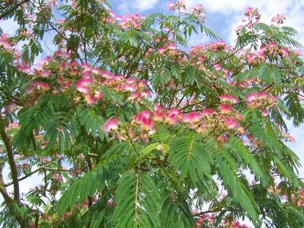 Connaissez vous l 39 albizia arbre soie ou acacia for Taille d un albizia