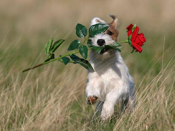 Une rose à vous livrer ... j'arrrrriiiiiiiiiiiiive !