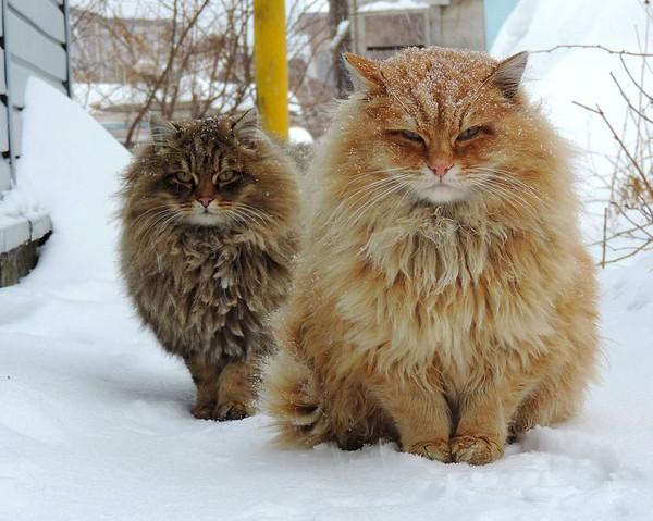 Chats sibériens dans la neige   ...    trop mignons  !