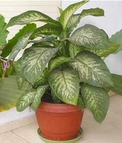 Dieffenbachia Picta  ...  Plante décorative dangereuse !