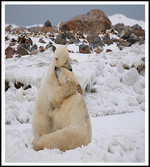 ours blancs câlins